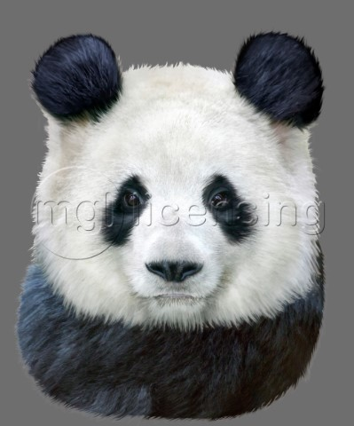 A beautiful black and white panda
