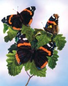 Red admirals on oak tree