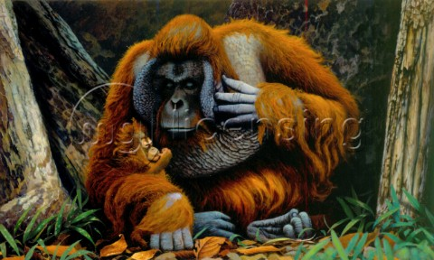 Orangutan father and baby