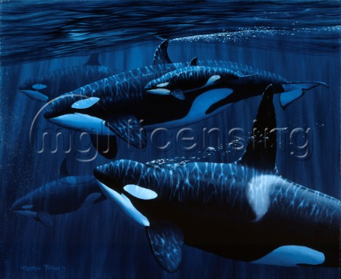 Orcas with baby NPI 0019