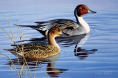 Pintail pair II (NPI 0032)