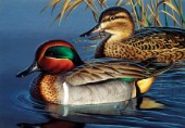 Green wing teal couple (NPI 0041)