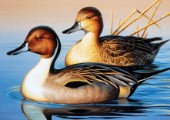 Pintail pair III (NPI 0046)