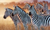 Zebras in a group (NPI 21490054)