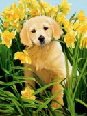 Pup and daffodils