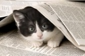 Black and white cat under newspaper (ck240)