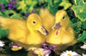 Two ducklings (A157)