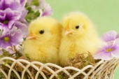 Easter chicks in basket (EA536)