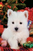White pup at Christmas (A166)