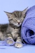 Grey kitten sleeping on wool (CK307)