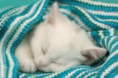 White kitten sleeping under stripy blanket (CK343)