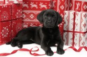 Black Labrador with boxes (C550)