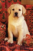 Labrador with red presents (A236)