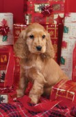 Cocker Spaniel with presents (A218)