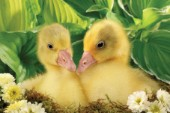 Two ducks (EA532A)