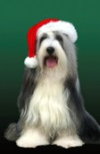 Dog with Christmas hat (C505)