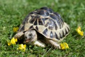 Turtle eating flower (R103)