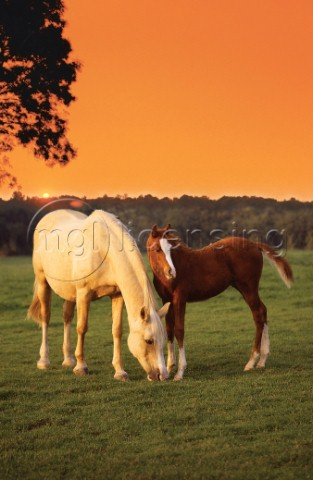 Two horses and sunset A200