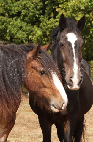 Black and brown horse H119