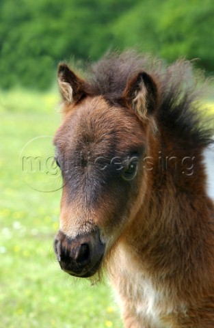 Brown baby pony H107
