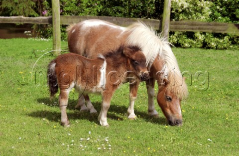Pony and her baby H109