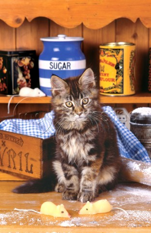 Cat with sugar A182