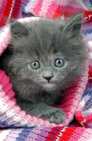 Kitten in jumper CK185