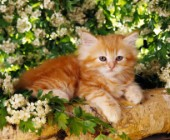 Ginger kitten in tree (CK292)
