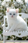 White kitten on bench (CK345)
