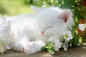 Kitten asleep in flowers (CK425)