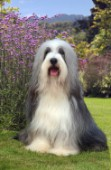 Sheepdog in garden (DP127)