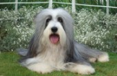 Sheepdog in garden (DP141)