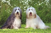 Two Sheepdogs (DP182)