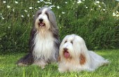 Two Sheepdogs (DP182B)