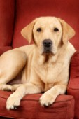 Adult Labrador on sofa (DP331)