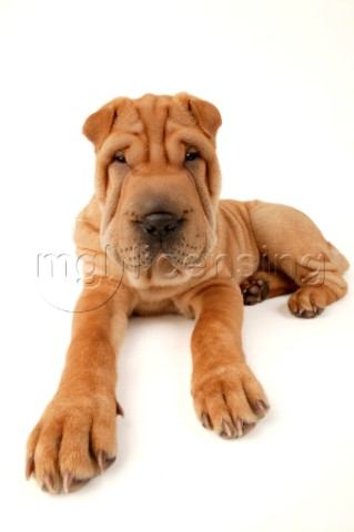 SharPei portrait DP344