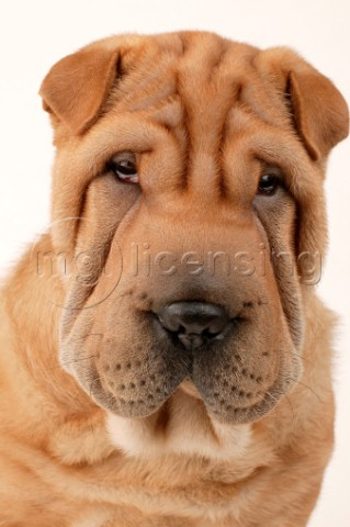 SharPei face DP346