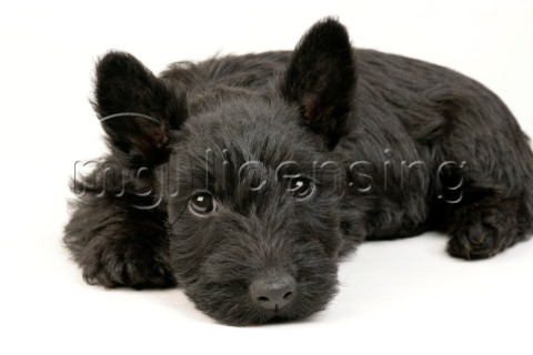 Black Westie lying down DP351