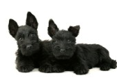 Two black Westies (DP437)