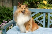 Collie on chair (DP526)