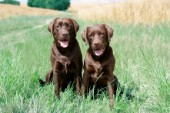 Two chocolate Labradors (DP545)