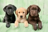 Three Labradors (DP587)