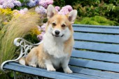 Corgi on bench (DP604)