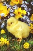Chick and flowers (A278)