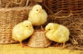 Three chicks (A297)