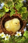 Chick in nest (A300)
