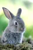 Grey rabbit (EA522)