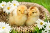 Chicks in basket (EA540)