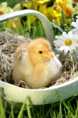 Chick in basket (EA541)