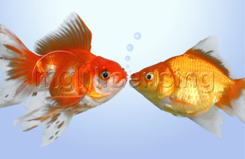 Two fish kissing FS502